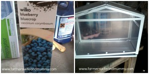 green house blueberry